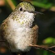 Broadbill Hummingbird Poster
