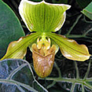 Brown And Green Orchid Amid Leaves Poster