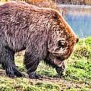 Brown Bear 201 Poster