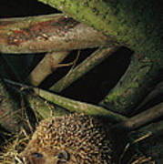 Brown-breasted Hedgehog Erinaceus Poster