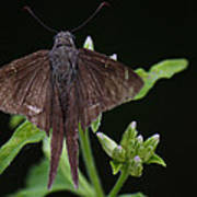 Brown Butterfly Dorantes Longtail Poster