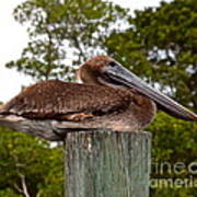 Brown Pelican At Rest Poster