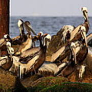 Brown Pelicans - Beauty Of Sand Island Poster