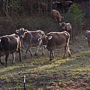 Brown Swiss Cows Coming Home Poster