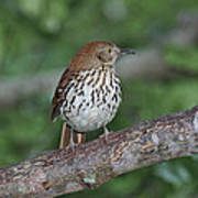 Brown Thrasher Poster by Gregory Scott