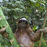 Brown Throated Three Toed Sloth Male Poster by Suzi Eszterhas