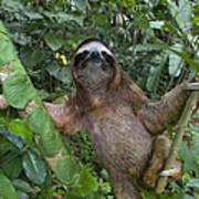 Brown-throated Three-toed Sloth Poster
