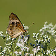 Buckeye Butterfly And Lesser Snakeroot Wildflowers Poster