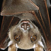 Buettikofers Epauletted Bat Epomops Poster