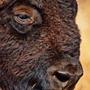 Buffalo Up Close Poster