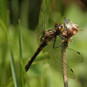 Bug Eyed Dragon Fly Poster