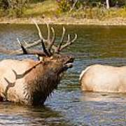 Bugling Bull Elk And 2 Female Cows In Estes Lake  Co Poster