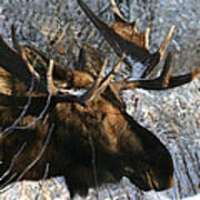 Bull In The Brush Poster