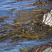 Bull Kelp Bed Poster by Bob Gibbons