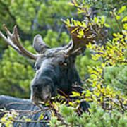 Bull Moose At Dusk Poster