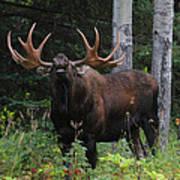 Bull Moose Flehmen Poster