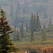 Bull Moose In Alaska Poster
