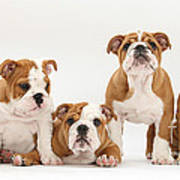 Bulldog Pups In A Row Poster