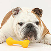 Bulldog With Plastic Chew Toy Poster
