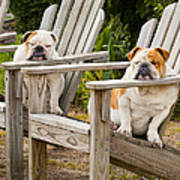 Bulldogs Relaxing At The Beach Poster