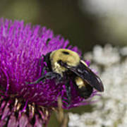 Bumble Bee And Bristle Thistle Poster