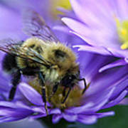 Bumble Bee And Fall Aster Poster