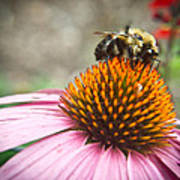 Bumble Bee Feeding On A Coneflower Poster