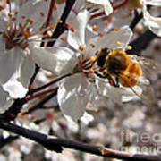 Bumble Bee On A Cherry Blossom Poster