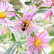 Bumble Bee On Asters Poster