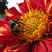 Bumblebee Dahlia 1 Poster
