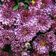 Bunch Of Chrysanths Poster