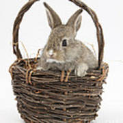 Bunny In A Basket Poster