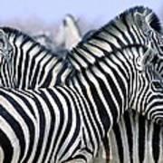 Burchells Zebra Equus Quagga Poster