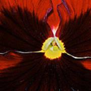 Burgandy Pansy Poster