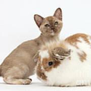 Burmese Kitten And Rabbit Poster