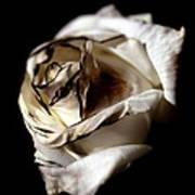Burnt Tea Rose Poster