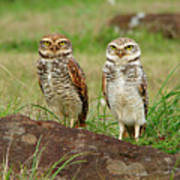 Burrowing Owl Poster by Antonello