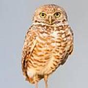 Burrowing Owl V Poster