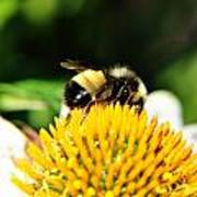Busy Bee Collecting On Echinacea Pow Wow Poster