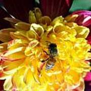 Busy Bee On Yellow Flower Poster