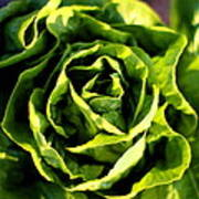 Buttercrunch Lettuce From Above Poster
