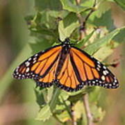 Butterfly - Monarch - Resting Poster