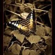 Butterfly Brown Poster