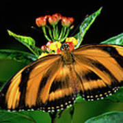 Butterfly Dryadula Heliconius Feeding Poster