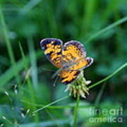 Butterfly In Square  Poster