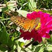Butterfly On A Zinnia Poster