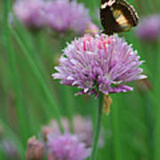 Butterfly On Clover Poster