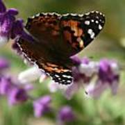 Butterfly On Lavender II Poster