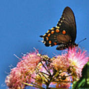 Butterfly On Mimosa Blossom Poster