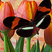 Butterfly On Orange Tulip Poster